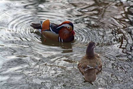 mandarin ducks photo