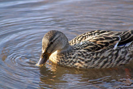 duck in water photo