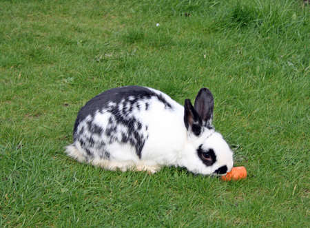bunny rabbit eating a carrot  photo