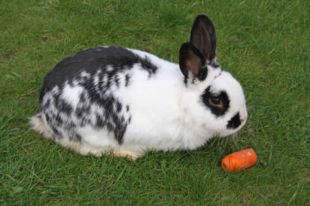 rabbit with a carrot  photo