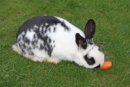 pet rabbit eating a carrot  photo
