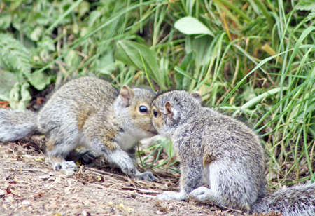 kissing squirrels photo