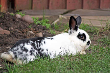 rabbit laying down Stock Photo - 13497182