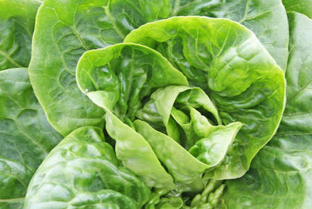 growing lettuce Stock Photo - 13497167