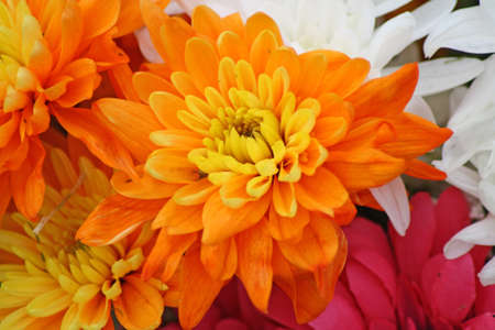chrysanthemum: Chrysanthemum flowers Stock Photo