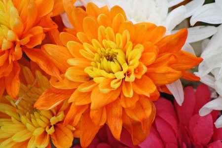 bouquet fleur: Fleurs du chrysanth�me Banque d'images