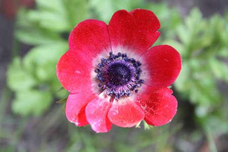 anemone flower: anemone fiore Archivio Fotografico