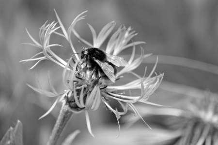 bachelor s button: perennial cornflower Stock Photo
