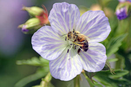meadow cranesbill with wasp photo
