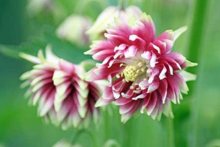 aquilegia: stunning Aquilegia vulgaris flowers Stock Photo