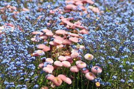 forget me not and daisy flowers photo