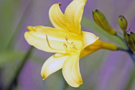 yelllow: yelllow lilly flower Stock Photo