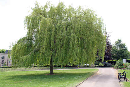 weeping willow tree in the park Stock Photo - 13897105