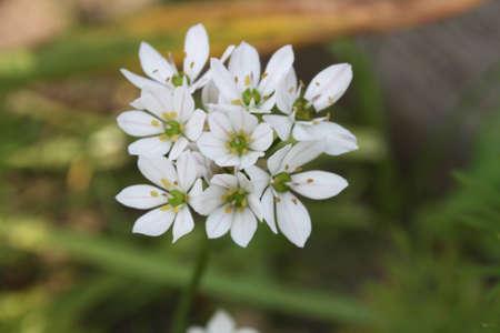 jasmine flowers photo
