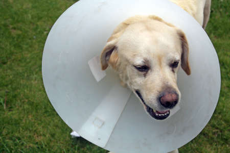 ill labrador dog in the garden wearing a protective cone Stock Photo