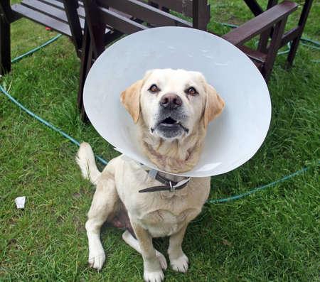 ill labrador dog in the garden wearing a protective cone photo
