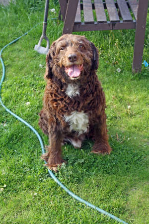 scruffy: scruffy brown dog