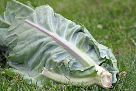 cabbage patch: half eaten cabbage