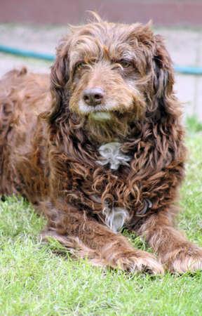 scruffy brown pet dog photo