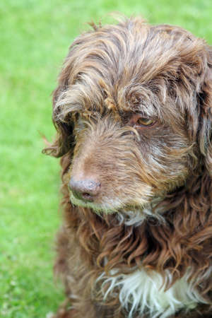 scruffy: scruffy brown pet dog