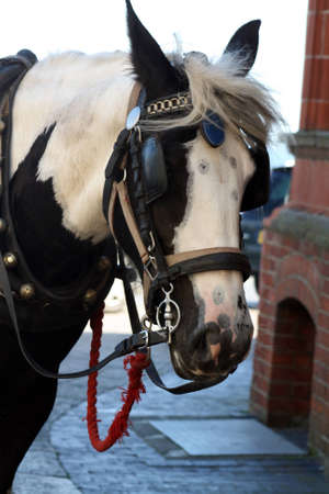 shire horse in the street photo