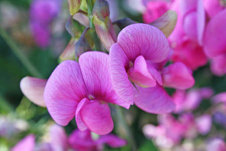 pink sweetpea flowers photo