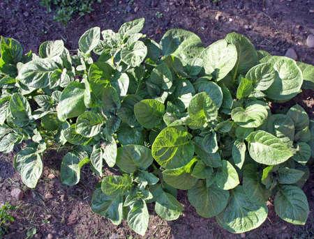 growing potaotes photo