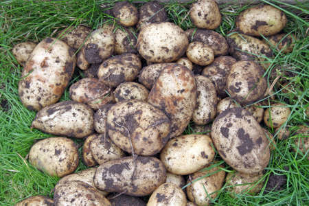 home grown potatoes photo