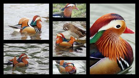 mandarina: mandarin ducks