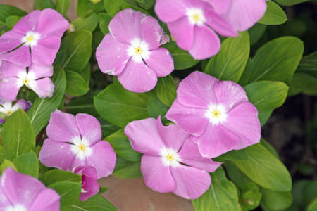bizzy lizzy flower impatiens Stock Photo - 16139719