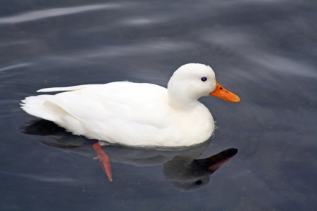 palmiped: white duck