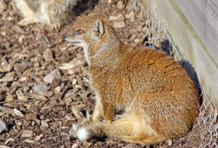 a mongoose sitting in the sun
