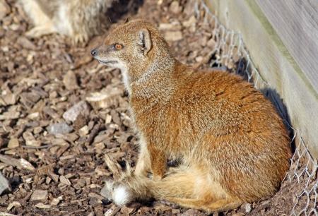 mangosta: una mangosta sentado en el sol