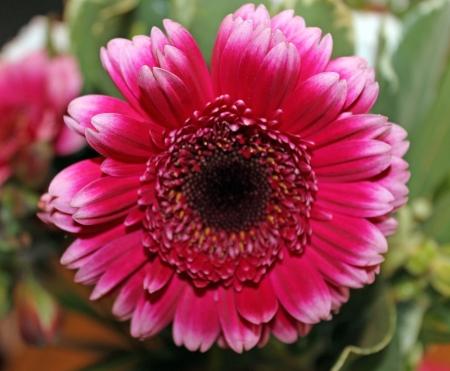 gerbera flowers photo