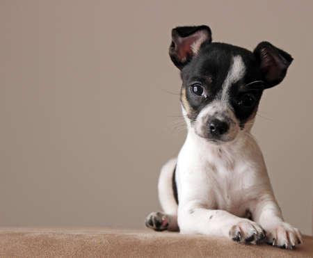 animal shelter: chihuahua