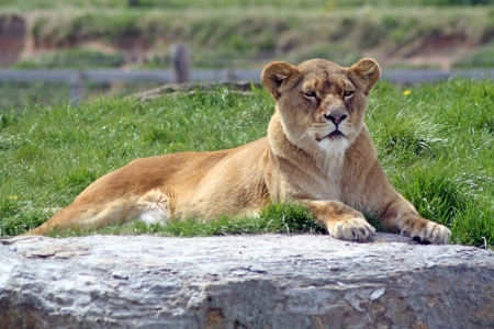 female lion  photo