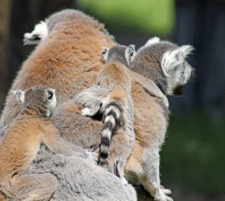 lemur family photo