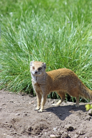 mongoose: mongoose Stock Photo