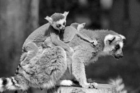 ring tailed lemur family Stock Photo