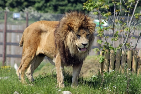 male lion with missing tail  photo
