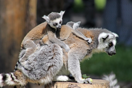 ring tailed: ring tailed lemur family  Stock Photo