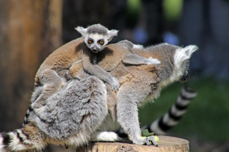 ring tailed: ring tailed lemur family