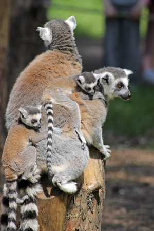 ring tailed: ring tailed lemurs