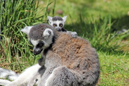 ring tailed: ring tailed lemur with baby