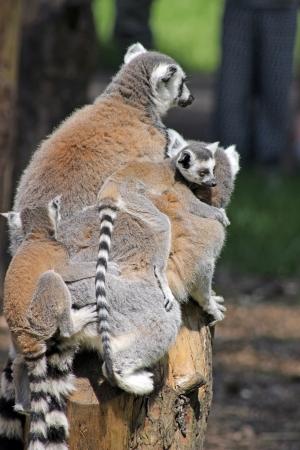 ring tailed: ring tailed lemur