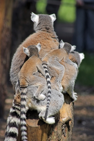 ring tailed: family of ring tailed lemurs