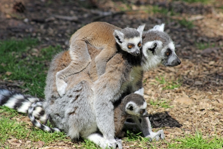ring tailed: ring tailed lemur