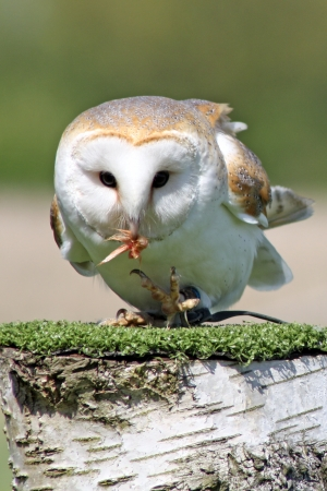 nocturnal: barn owl