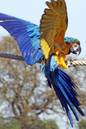 maccaw: parrot Stock Photo