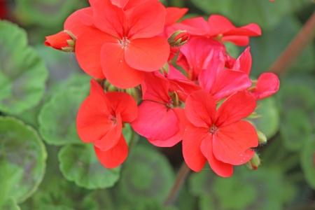 red geraniums photo